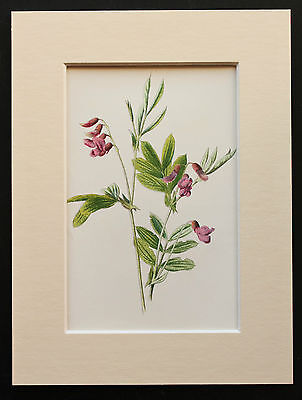 Pink Tuberous Pea - Mounted Antique Botanical Flower Print 1880s by Hulme