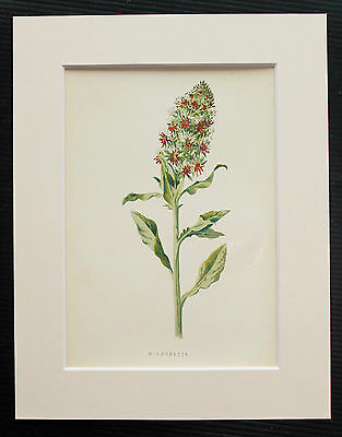 Mignonette - Mounted Antique Botanical Flower Print 1880s by Hulme