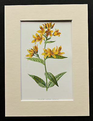 Yellow Loose-strife - Mounted Antique Botanical Flower Print 1880s by Hulme