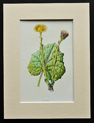Yellow Coltsfoot - Mounted Antique Botanical Flower Print 1880s by Hulme