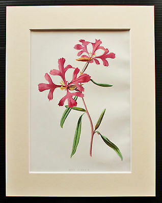 Rosy Clarkia - Mounted Antique Botanical Flower Print 1880s by Hulme