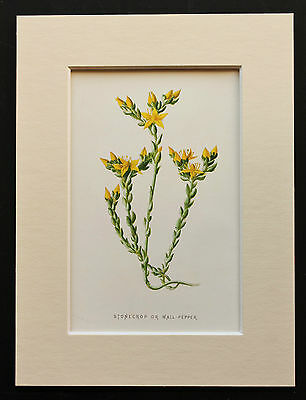 Yellow Stonecrop - Mounted Antique Botanical Flower Print 1880s by Hulme