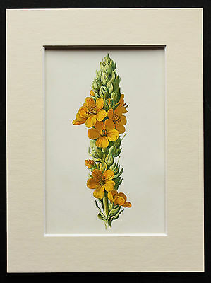 Yellow Great Mullein - Mounted Antique Botanical Flower Print 1880s by Hulme