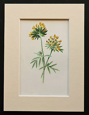 Yellow Kidney Vetch - Mounted Antique Botanical Flower Print 1880s by Hulme