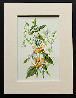 Yellow Dead Nettle - Mounted Antique Botanical Flower Print 1880s by Hulme