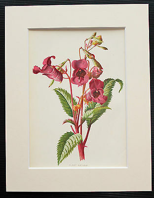 Giant Balsam - Mounted Antique Botanical Flower Print 1880s by Hulme