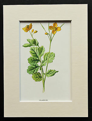 Yellow Celandine - Mounted Antique Botanical Flower Print 1880s by Hulme