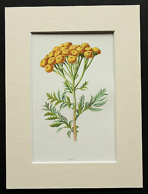 Yellow Tansy - Mounted Antique Botanical Flower Print 1880s by Hulme