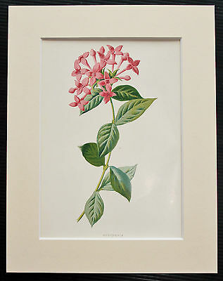 Pink Bouvardia - Mounted Antique Botanical Flower Print 1880s by Hulme