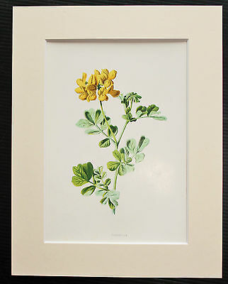Coronilla Yellow Pea - Mounted Antique Botanical Flower Print 1880s by Hulme