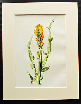 Winged Broom - Mounted Antique Botanical Flower Print 1880s by Hulme