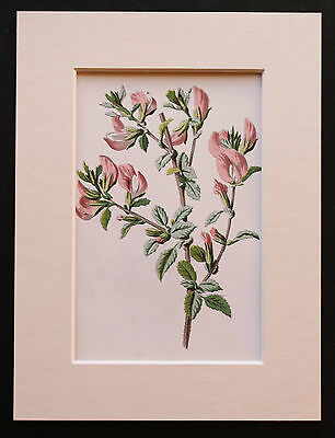 Pink Rest Harrow  - Mounted Antique Botanical Flower Print 1880s by Hulme