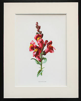 Pink Snapdragon - Mounted Antique Botanical Flower Print 1880s by Hulme