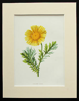 Garland Daisy - Mounted Antique Botanical Flower Print 1880s by Hulme