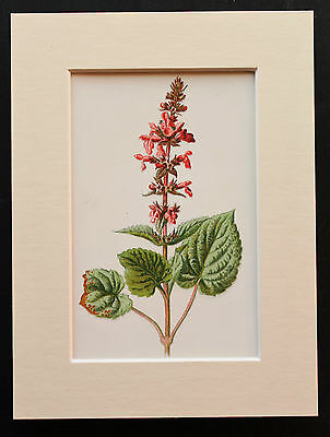 Pink Hedge Stachys - Mounted Antique Botanical Flower Print 1880s by Hulme