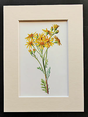 Yellow Ragwort - Mounted Antique Botanical Flower Print 1880s by Hulme