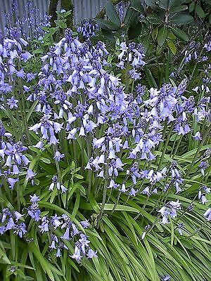 100+  Bluebell SEEDS  Plant is Bulb and Perennial  Shade or Sun Fresh 2016 Seed