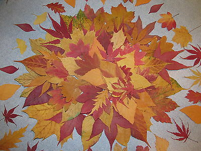 130+ Pressed Dried Fall Leaves Real Natural  Wedding Decoration + Crafts etc