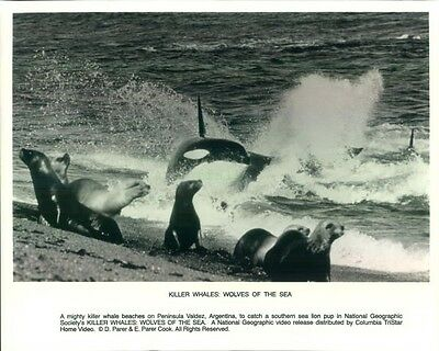 Press Photo: Killer Whales: Wolves of the Sea 8x10 B&W