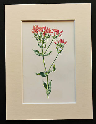 Pink Centaury - Mounted Antique Botanical Flower Print 1880s by Hulme