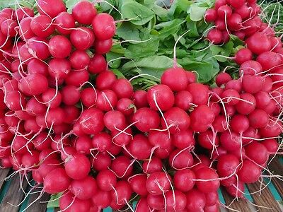 RADISH 'Cherry Belle' 100 seeds vegetable garden EASY TO GROW eat in 8 weeks red