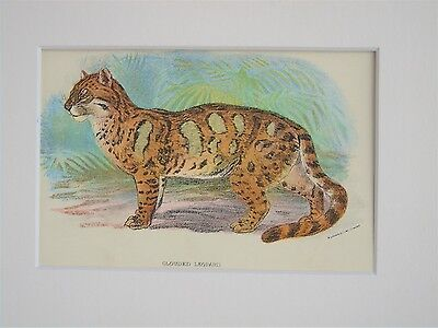 Clouded Leopard - Mounted Antique Animal Big Cat Print Victorian Lithograph