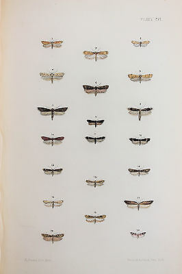 Antique Victorian Moth Print by Rev. Morris, Hand Coloured Engraving (ref 106)