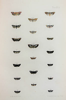 Antique Victorian Moth Print by Rev. Morris, Hand Coloured Engraving (ref 92)