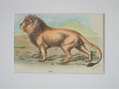 Lion - Mounted Antique Animal Big Cat Print Victorian Lithograph