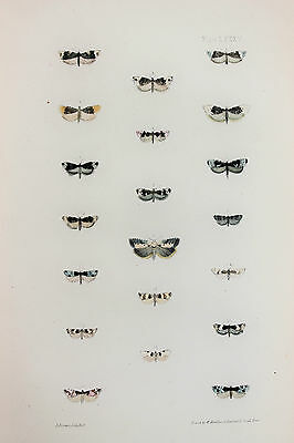 Antique Victorian Moth Print by Rev. Morris, Hand Coloured Engraving (ref 85)