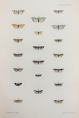 Antique Victorian Moth Print by Rev. Morris, Hand Coloured Engraving (ref 88)