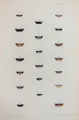 Antique Victorian Moth Print by Rev. Morris, Hand Coloured Engraving (ref 93)