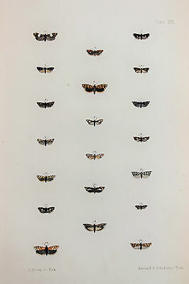 Antique Victorian Moth Print by Rev. Morris, Hand Coloured Engraving (ref 91)