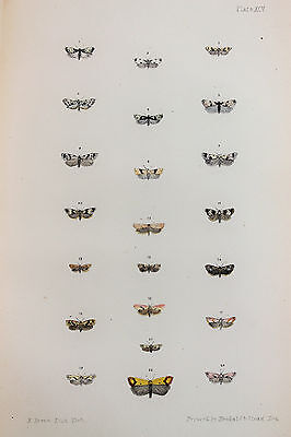 Antique Victorian Moth Print by Rev. Morris, Hand Coloured Engraving (ref 95)