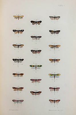 Antique Victorian Moth Print by Rev. Morris, Hand Coloured Engraving (ref 100)