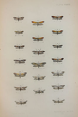 Antique Victorian Moth Print by Rev. Morris, Hand Coloured Engraving (ref 118)