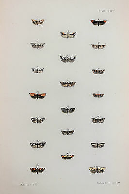 Antique Victorian Moth Print by Rev. Morris, Hand Coloured Engraving (ref 89)