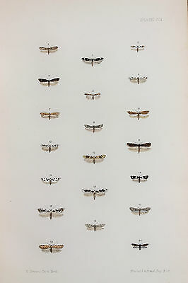 Antique Victorian Moth Print by Rev. Morris, Hand Coloured Engraving (ref 109)