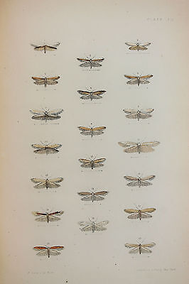 Antique Victorian Moth Print by Rev. Morris, Hand Coloured Engraving (ref 119)