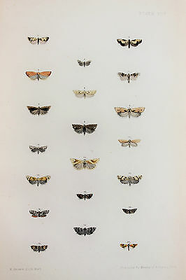 Antique Victorian Moth Print by Rev. Morris, Hand Coloured Engraving (ref 94)