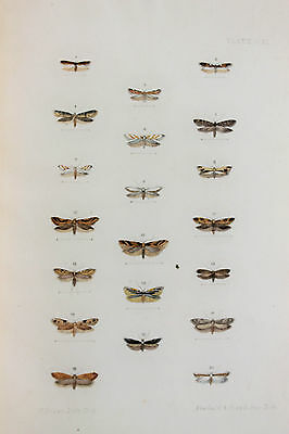Antique Victorian Moth Print by Rev. Morris, Hand Coloured Engraving (ref 111)