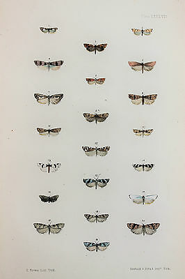 Antique Victorian Moth Print by Rev. Morris, Hand Coloured Engraving (ref 87)