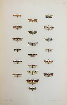 Antique Victorian Moth Print by Rev. Morris, Hand Coloured Engraving (ref 104)