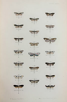 Antique Victorian Moth Print by Rev. Morris, Hand Coloured Engraving (ref 98)