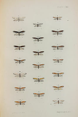 Antique Victorian Moth Print by Rev. Morris, Hand Coloured Engraving (ref 120)