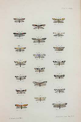 Antique Victorian Moth Print by Rev. Morris, Hand Coloured Engraving (ref 121)