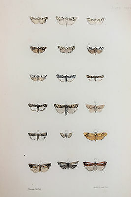 Antique Victorian Moth Print by Rev. Morris, Hand Coloured Engraving (ref 77)
