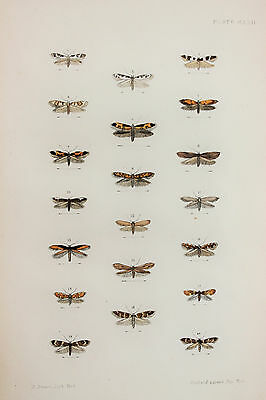 Antique Victorian Moth Print by Rev. Morris, Hand Coloured Engraving (ref 122)