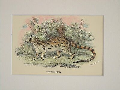 Genet - Mounted Antique Animal Big Cat Print Victorian Lithograph
