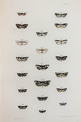 Antique Victorian Moth Print by Rev. Morris, Hand Coloured Engraving (ref 90)